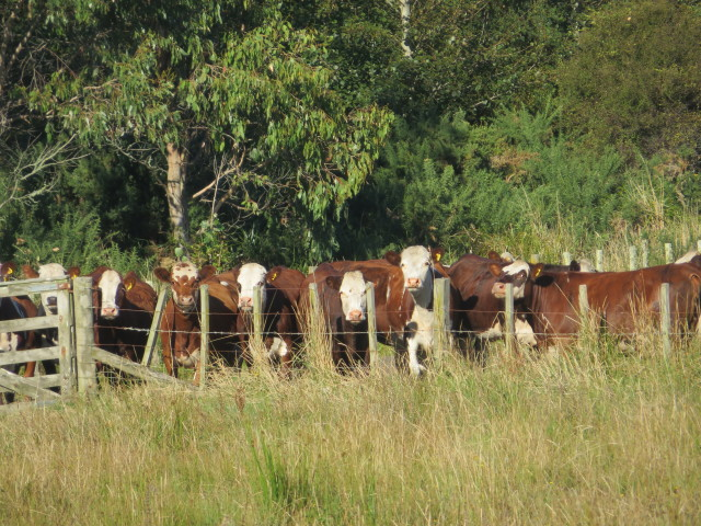 Figure 2: Cows Stand by an Unfenced Drain (Source: Isobel Oldfield)