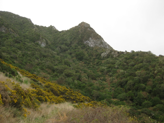 Gorse on Banks Peninsula