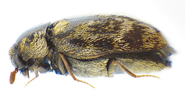 Anthrenocerus_australis_side