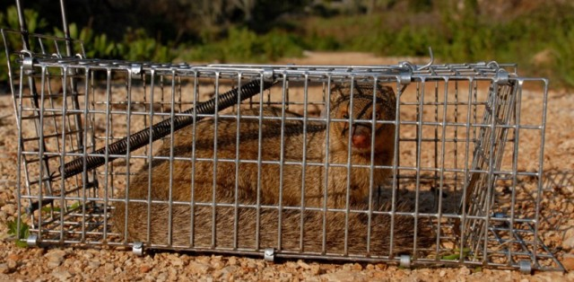 Mongoose in cage