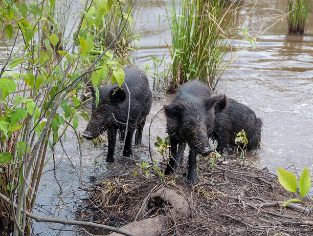 More harmful to the environment than they look - feral pigs.