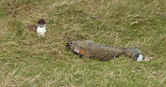 Stoat with its intended prey as an introduced biological control agent