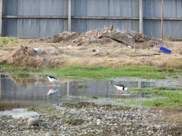4.Pied Stilt checking out the red-zone