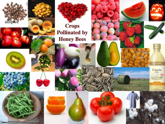 Crops Pollinated by Honey Bees