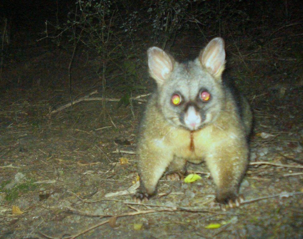 3794ae3ec05 Wondering about wandering possums  Understanding possum movement ...