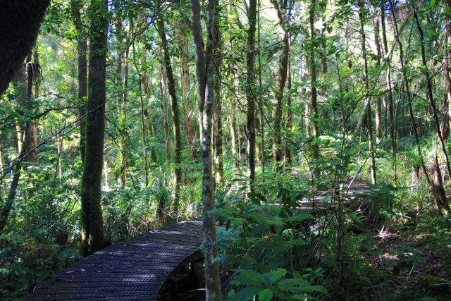 The image shows a raised boardwalk through a lush green forest. The forest here is the Waipoua Forest, which is located in the northern part of the North Island of New Zealand.